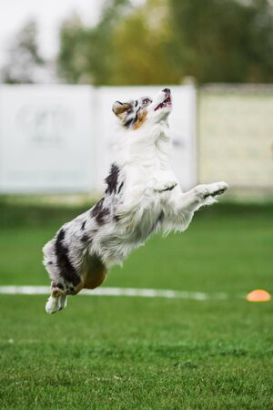 excited australian shepherd jumping high catching flying disk, open mouth, summer outdoors dog sport competition