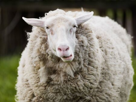 Portrait of funny face sheep chewing grass in pasture