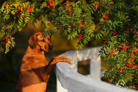 Cute Rhodesian Ridgeback dog close up portrait in green nature scene at evening sunset sun light