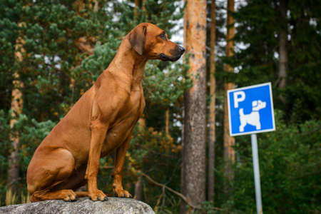 Funny rhodesian ridgeback dog sitting at parking in front of blue and white direction sign parking for dogs in forest park area Standard-Bild
