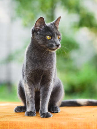 Portrait of cute gray russian blue cat looking for catch