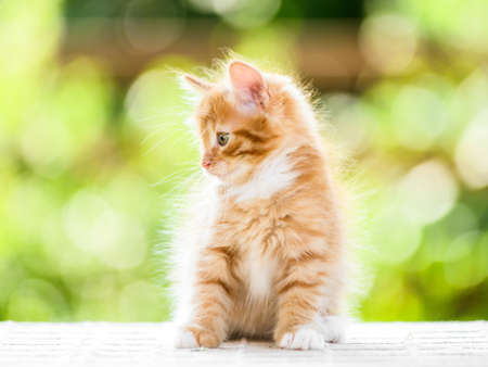 Portrait of adorable playful red orange fluffy kitten on sunny summer nature background 免版税图像
