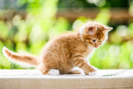 Portrait of adorable playful red orange fluffy kitten on sunny summer nature background Standard-Bild