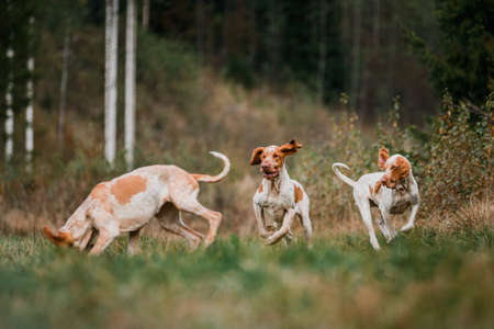 Three funny face Bracco Italiano pointer hunting dogs fowling partridge, ears fluttering in wind, summer evening shot 免版税图像