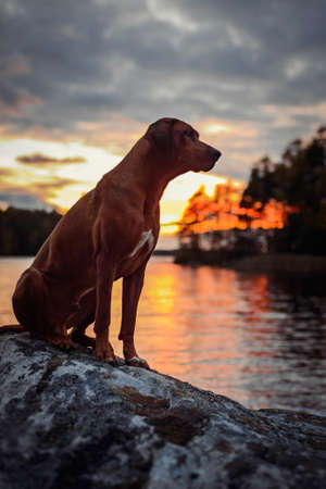 Adorable Rhodesian Ridgeback dog stitting on rocks with water and sunset sky on background