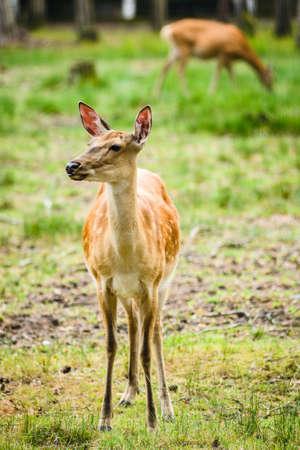 Young Dappled deers feeding grass in meadow 免版税图像