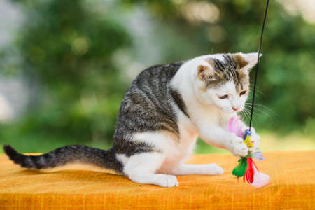 graceful white and gray cat catching feather toy by paws, claws released