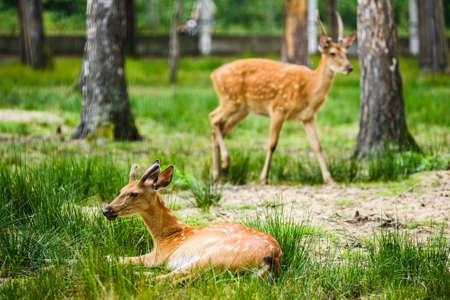 Dappled deer family having rest lying on ground in forest 免版税图像