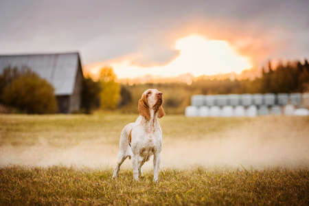 Beautiful Bracco Italiano pointer standing on field in smoke at sunset landscape