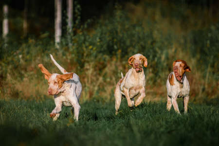 Three funny face Bracco Italiano pointer hunting dogs fowling pheasant, ears fluttering in wind, summer evening shot 免版税图像