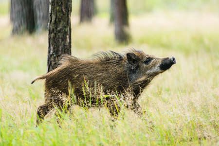 Young wild boar running in green grass in forest in summer