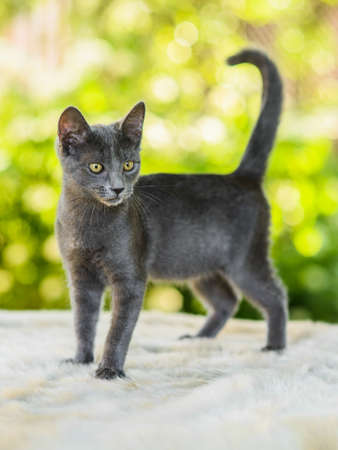 Portrait of cute disappointed gray russian blue cat kitten looking for catch