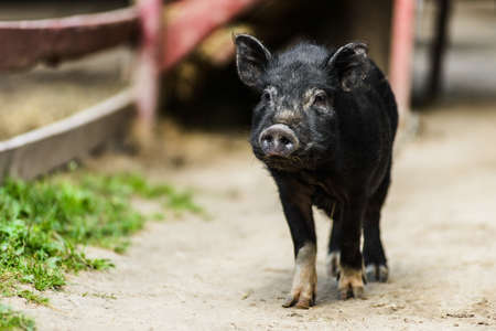 Cute young hairy black farm pig in farm at countryside