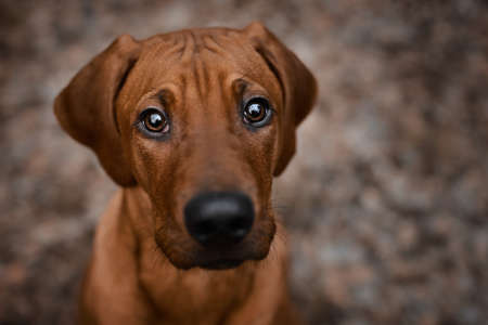 Curious Rhodesian Ridgeback puppy dog looking up straight to camera inquiringly 免版税图像