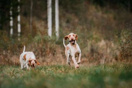 Beautiful Bracco Italiano pointer dog carrying hunted bird fowl in mouth