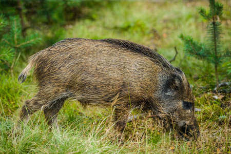 Young wild boar feeding in green forest in summer