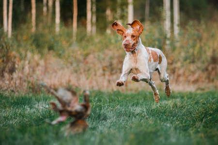 Beautiful Bracco Italiano pointer running hunting dog running in grass fowling pheasant, summer evening