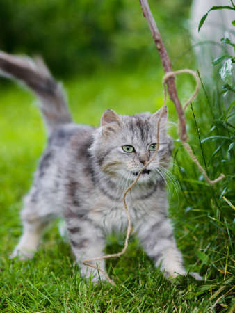Cute gray fluffy silly face cat playing in grass attacking toy in jump Standard-Bild