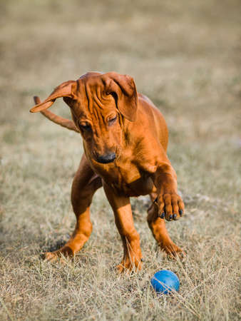 Funny face Rhodesian Ridgebacks puppy playing with ball, catching, jumping, running, chasing