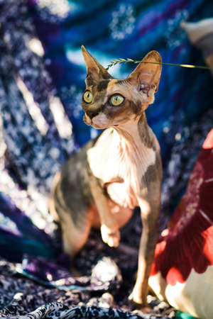 cute curious spotty hairless sphynx cat sitting on colorful textile pillows