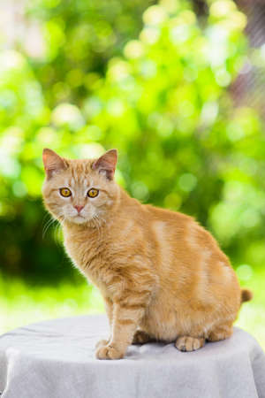 Portrait of cute fat red cat at summer nature background