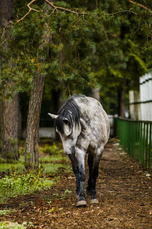 Polish primitive horse konik, forest horse, hybrid of the wild tarpan horse and domestic horse, Biełaviezskaja Pusca national park in Belarus. offspring inherited all features of ancestors