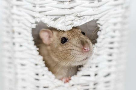 Cute fancy rat portrait in heart shaped white osier vase window