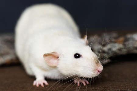 White fancy rat sitting on bark of tree on dark wooden background 免版税图像
