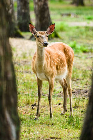Young Dappled deer standing among trees in forest