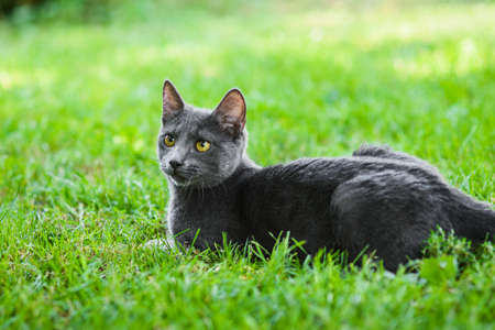 Cute gray russian blue cat lying in grass 免版税图像