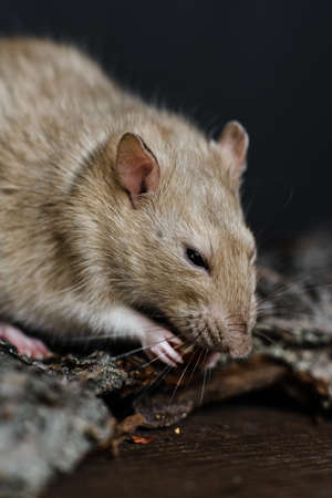 Gray fancy rat eating seeds sitting on bark of tree on dark wooden background, vertical shot