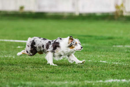 excited australian shepherd running for rolling flying disk trying to catch it, open mouth, summer outdoors dog sport competition