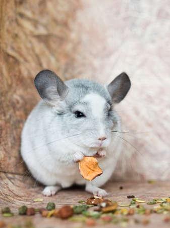Funny face fluffy domestic chinchilla, close-up portrait