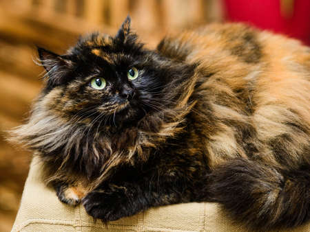 fluffy nervous cat folding its ears, turned sideways back 免版税图像
