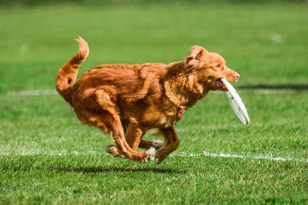 funny face red duck toller catched flying disk, summer outdoors dog sport competition