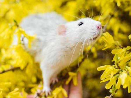 Lovely white and gray dumbo fancy rat sitting on girl's hand in gorgeous spring yellow forsythia Easter tree flower blossom inhaling floral fragrance.