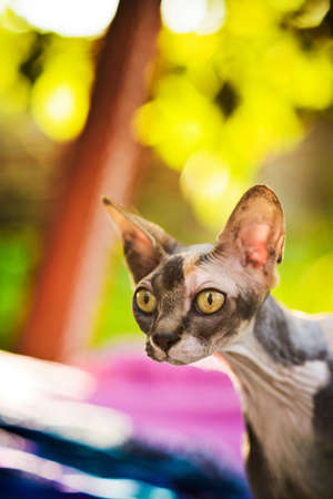 close-up portrait of beautiful spotty hairless sphynx cat sitting on colorful textile background 免版税图像