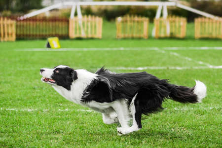 border collie ready to jump high to catch flying disk, summer outdoors dog sport competition