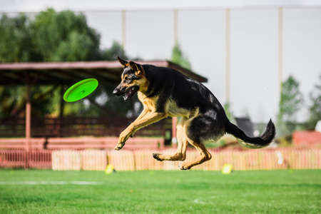 German Shepherd catching flying disk, summer outdoors dog sport competition 免版税图像
