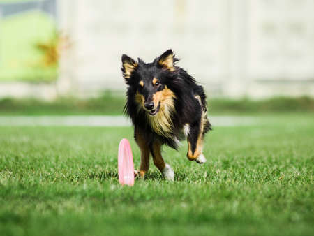excited Shetland Sheepdog Sheltie running for rolling flying disk trying to catch it, summer outdoors dog sport competition