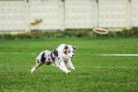 australian shepherd running for flying disk trying to catch it in jump, open mouth, summer outdoors dog sport competition 免版税图像 - 165394381