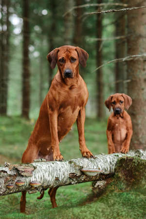 Cute rhodesian ridgeback adult dog and its puppy leaning on fallen pine tree in forest. Mother and child. 免版税图像