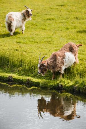 goats graze on green grass near river, drinking water 免版税图像 - 165394389
