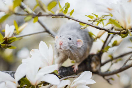 Cute white and gray dumbo fancy rat sitting in gorgeous white magnolia blossom. Chinese New year 2020 greeting post card