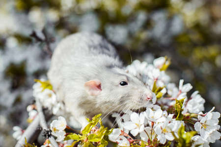 Cute white and gray dumbo fancy rat sitting in gorgeous spring white cherry blossom.