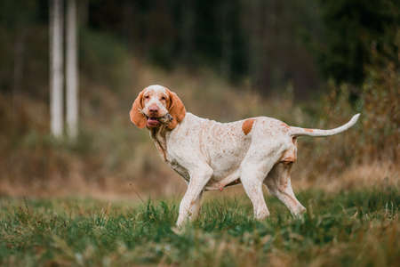 funny face Bracco Italiano pointer hunting dog carrying hunted partridge in mouth