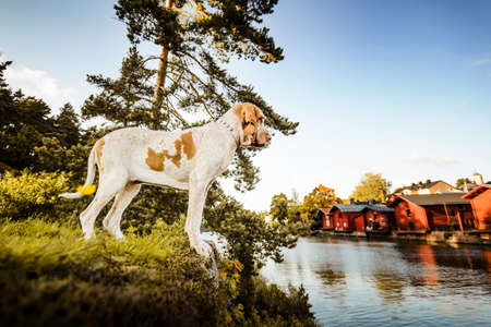 Beautiful Bracco Italiano pointer standing at river with Porvoo famous red houses landscape at background