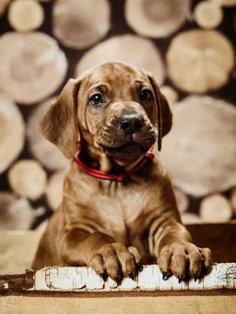 Cute rhodesian ridgeback puppy dog sitting in wood box on wooden background of dry chopped firewood logs stacked in a pile