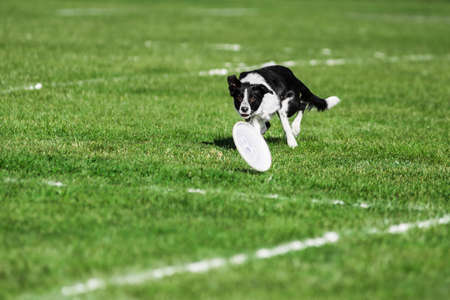 border collie running for rolling flying disk trying to catch it, open mouth, summer outdoors dog sport competition