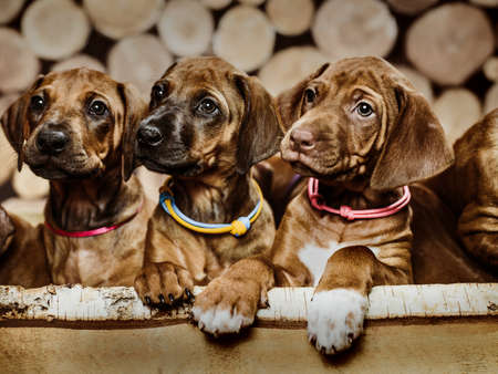 Group of three 3 rhodesian ridgeback puppies dogs sitting in raw in wood box on wooden background of dry chopped firewood logs stacked up on top of each other in a pile 免版税图像